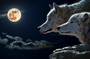 أقوى صراع بين ذئب وكلب