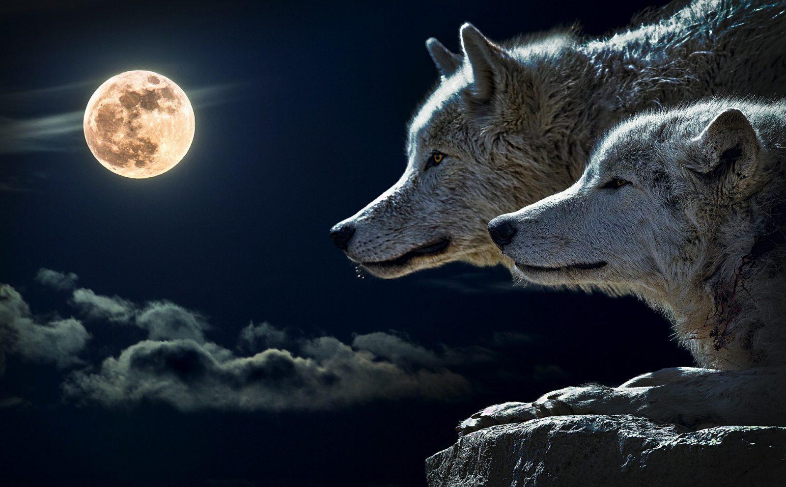 (فيديو) أقوى صراع بين ذئب وكلب ،ينتهي بافتراس الذئب للكلب